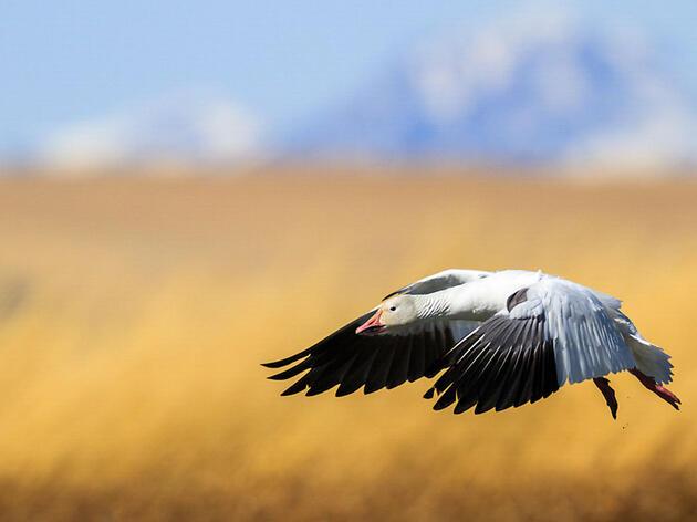 Snow Goose. Ronan Donovan/Audubon Photography Awards