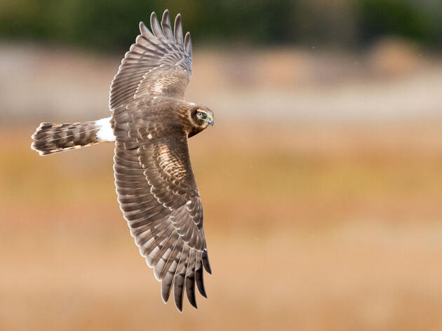 Northern Harrier. Doug German/Audubon Photography Awards