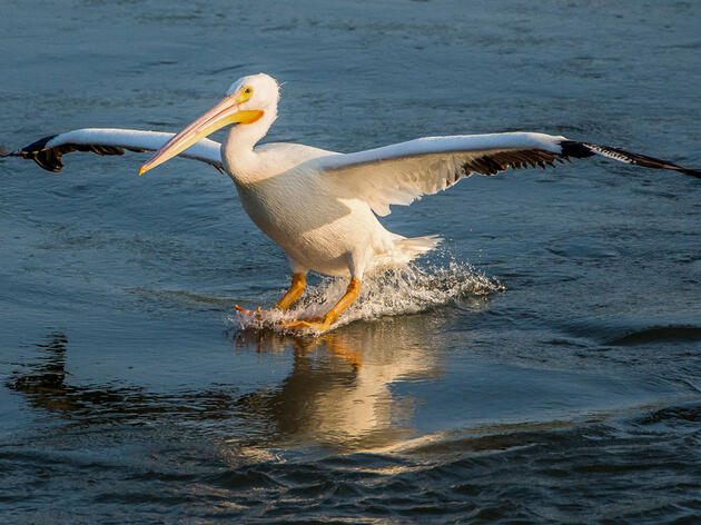 American White Pelican. Joanne Wuori/Audubon Photography Awards