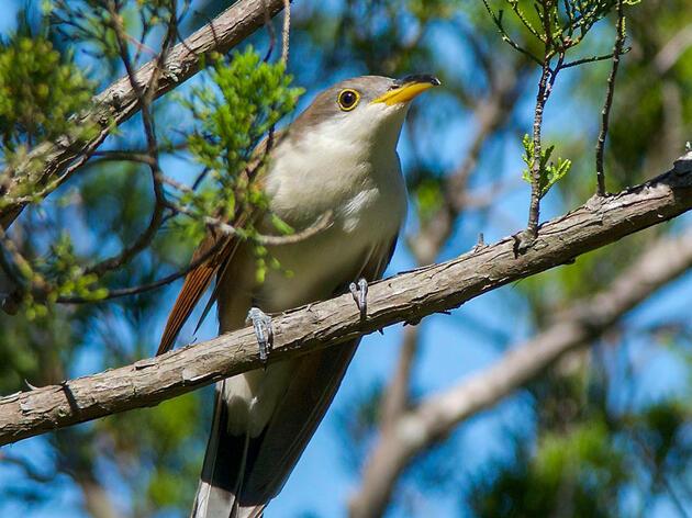 Yellow-billed Cuckoo. Mary Miguez/Audubon Photography Awards