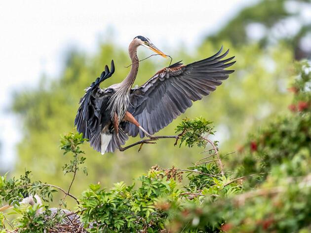Great Blue Heron. Rosemary Gillan/Audubon Photography Awards