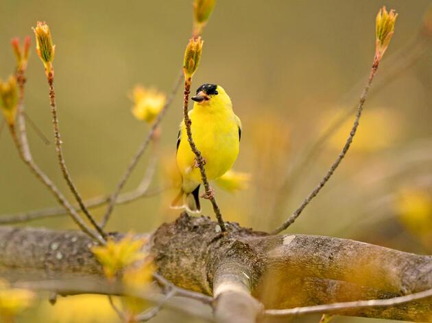 American Goldfinch. Lynn Cleveland/Audubon Photography Awards