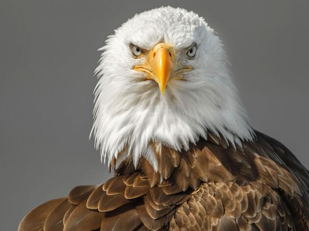 Bald Eagle. Graham McGeorge/Audubon Photography Awards