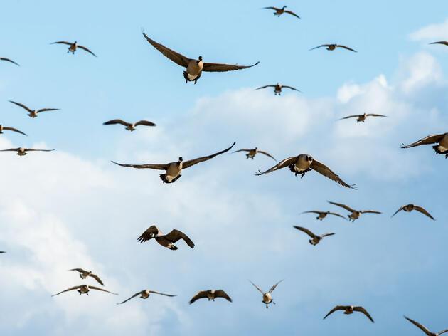 Canada Geese. Christian Hannig/Audubon Photography Awards