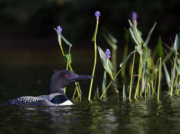Common Loon. Pamela Dimeler/Audubon Photography Awards