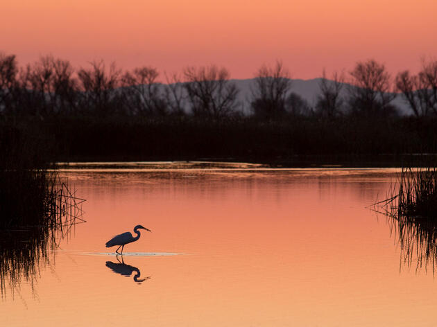 Great Egret. Rick Derevan/Audubon Photography Awards