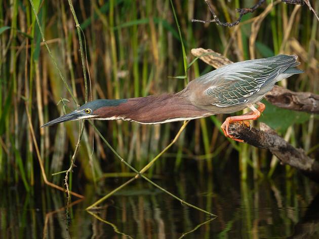 Green Heron. Edward Cordes/Audubon Photography Awards