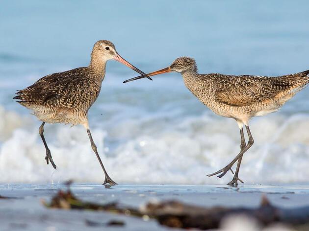 Marbled Godwits. Peter Brannon/Audubon Photography Awards