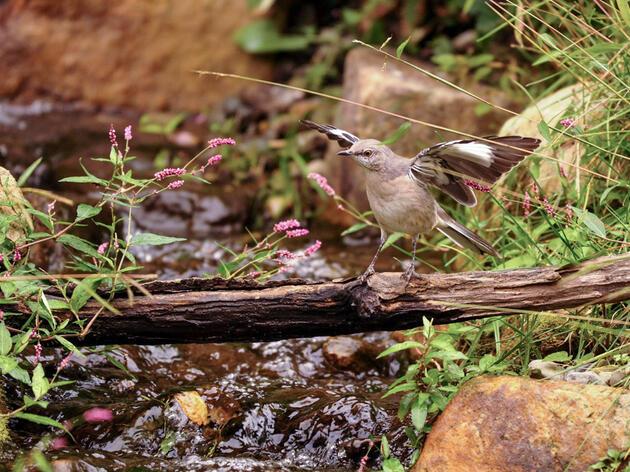 Northern Mockingbird. Susan Murray/Audubon Photography Awards
