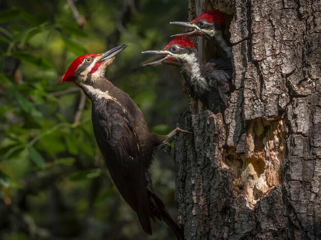 Pileated Woodpecker. Sylvia Hunt/Audubon Photography Awards