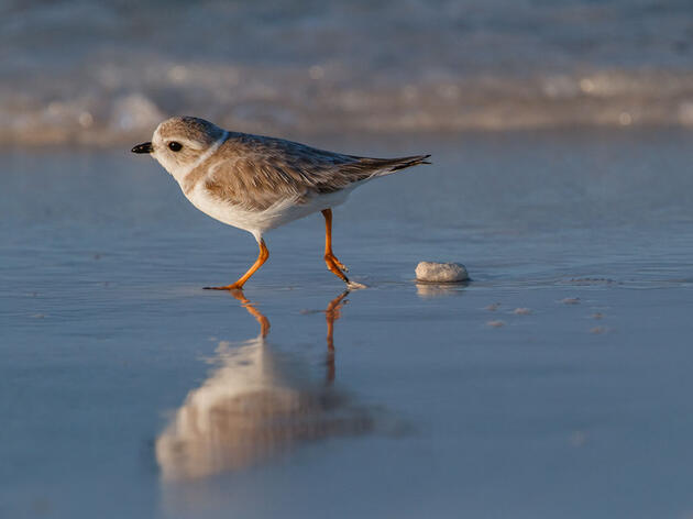 Piping Plover. Lorraine Minns/Audubon Photography Awards