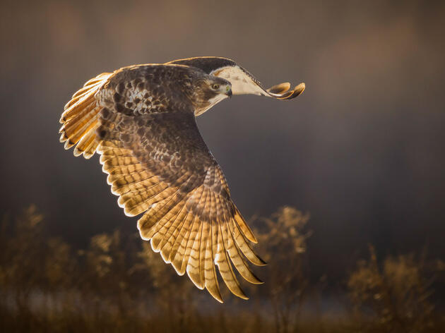 Red-tailed Hawk. Jess Deitz/Audubon Photography Awards