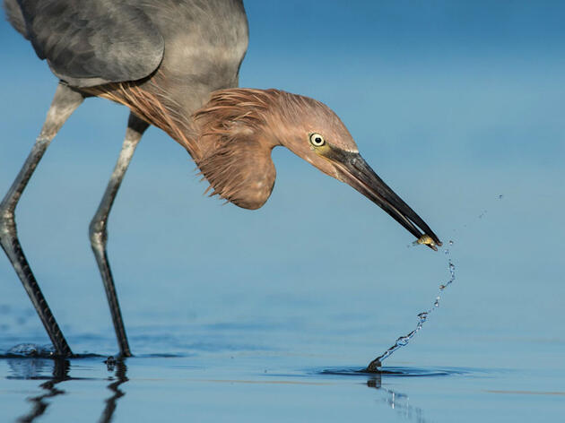 Gulf Coast birds receive nearly $35 million investment from BP oil spill settlement
