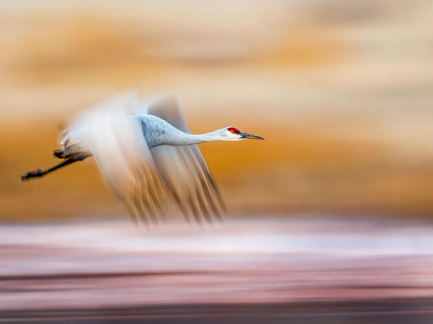 Sandhill Crane. Stan Bysshe/Audubon Photography Awards