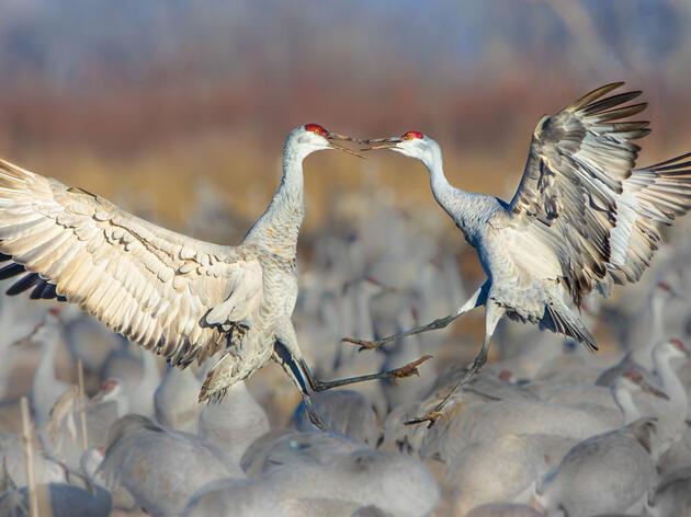 Sandhill Cranes. Chokchai Leangsuksun/Audubon Photography Awards