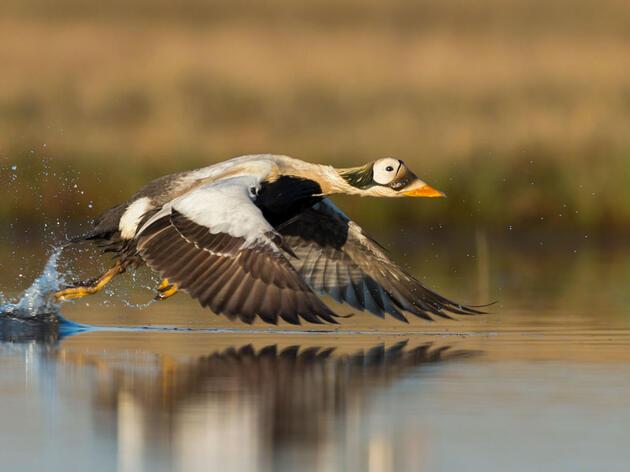 Spectacled Eider. Tom Ingram/Audubon Photography Awards