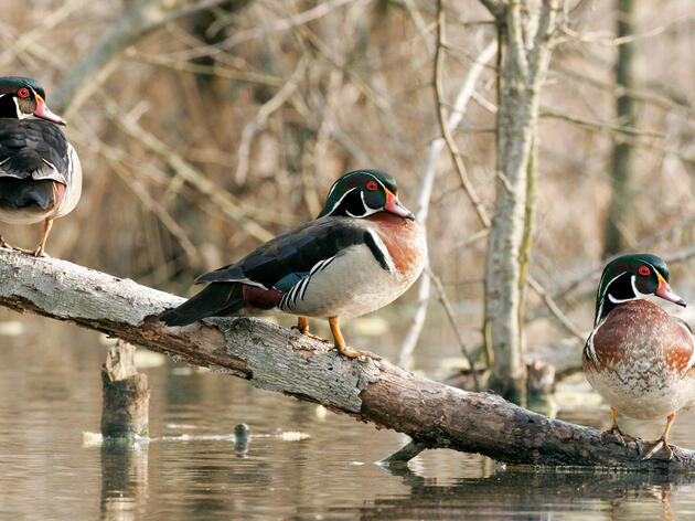 Wood Ducks. David Judd/Audubon Photography Awards
