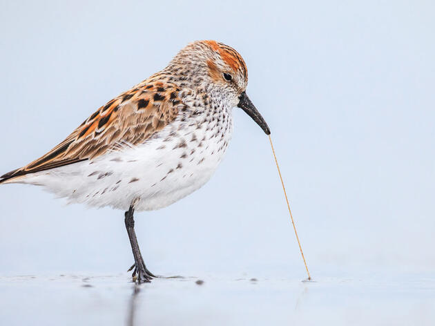 Grazing Provides Western Sandpipers with Important Source of Energy for Migration