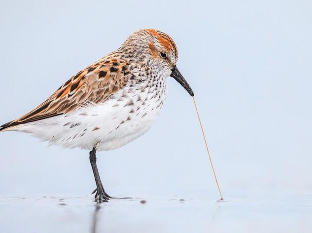 Western Sandpiper. Ronan Donovan/Audubon Photography Awards