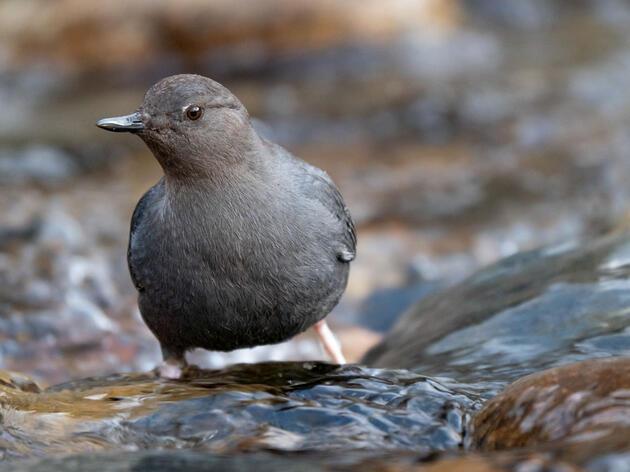 American Dipper. Evan Barrientos/Audubon Rockies