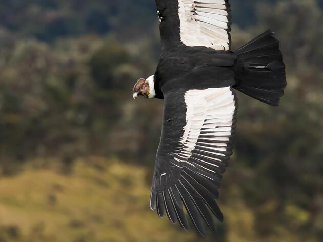 Andean Condor in Colombia, South America. Dorian Anderson