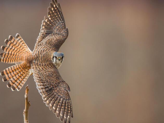 American Kestrel. Photo: Jason Ganz/Audubon Photography Awards