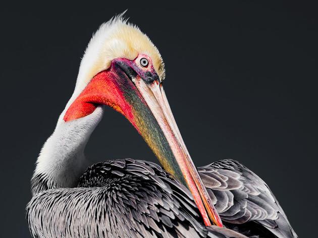 Brown Pelican. Gina Bonanno/Audubon Photography Awards