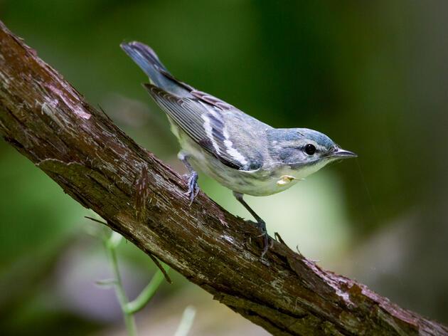 Cerulean Warbler. Gary Robinette/Audubon Photography Awards