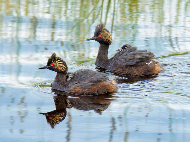 Eared Grebes with chicks. Wendy Crowe/Audubon Photography Awards