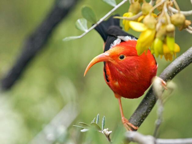 'I'iwi. Justin Peter/Audubon Photography Awards
