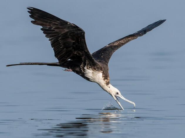 Magnificent Frigatebird. Peter Brannon/Audubon Photography Awards