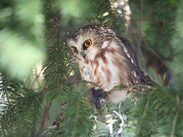 Northern Saw-whet Owl. Jim Bachman/Audubon Photography Awards