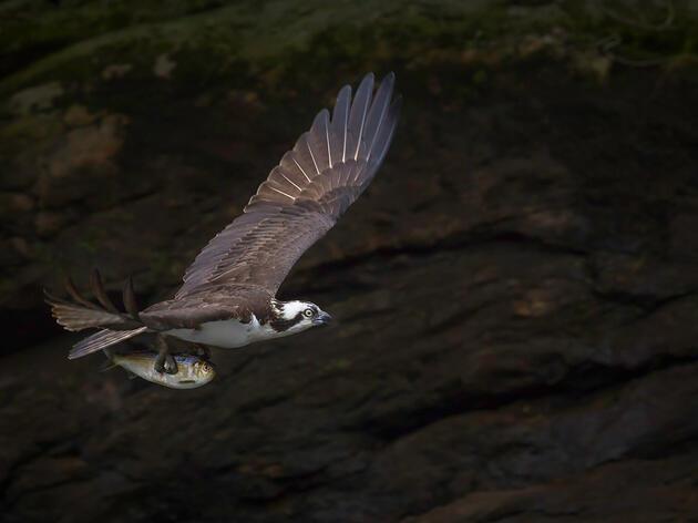 Osprey with Menhaden. Caroline Samson/Audubon Photography Awards