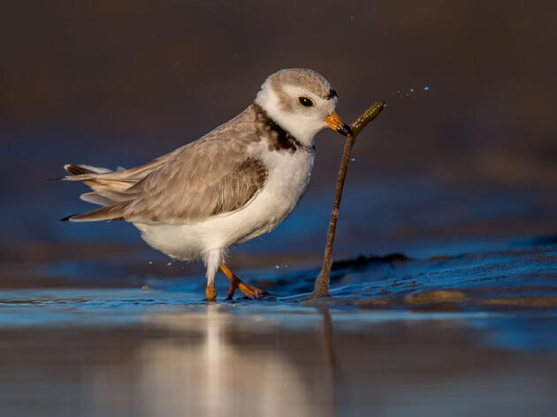 Piping Plover. William Pully/Audubon Photography Awards