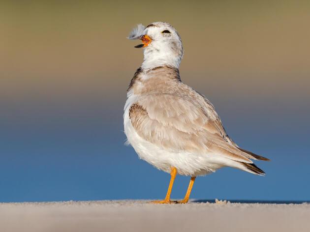 New Science Reveals the Big Impact Stewardship has on Coastal Birds