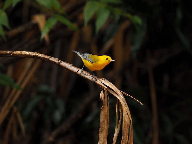Prothonotary Warbler. Susan Gregory/Audubon Photography Awards