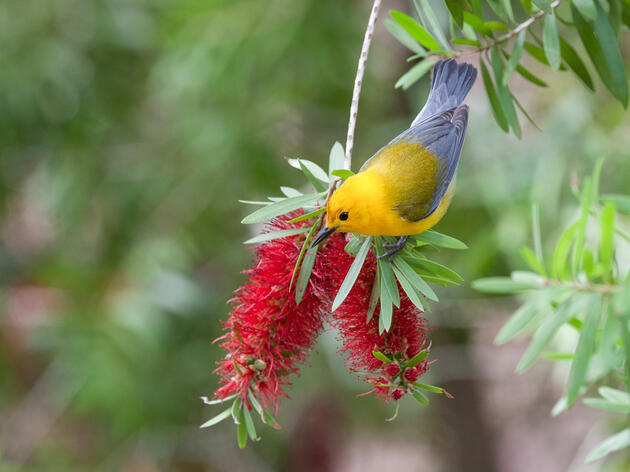 A Tale of Two Migration Routes: How Prothonotary Warblers Make Their Way Home