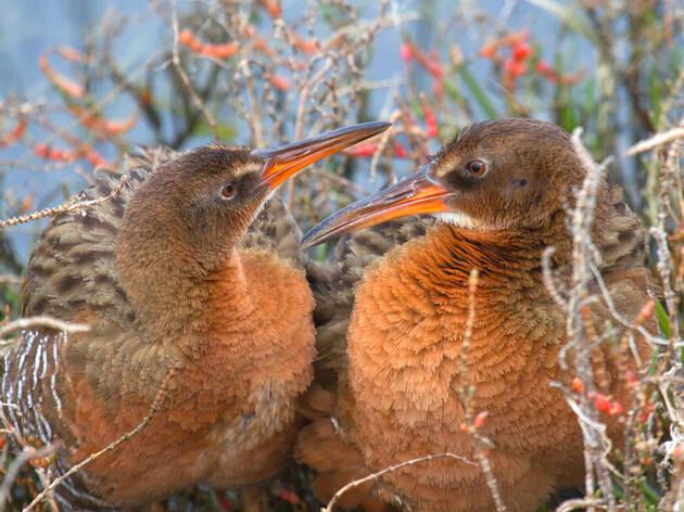 Ridgway's Rail. Rick Lewis/Audubon Photography Awards