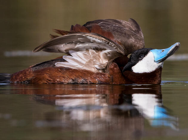 Ruddy Duck. Don Bland/Audubon Photography Awards