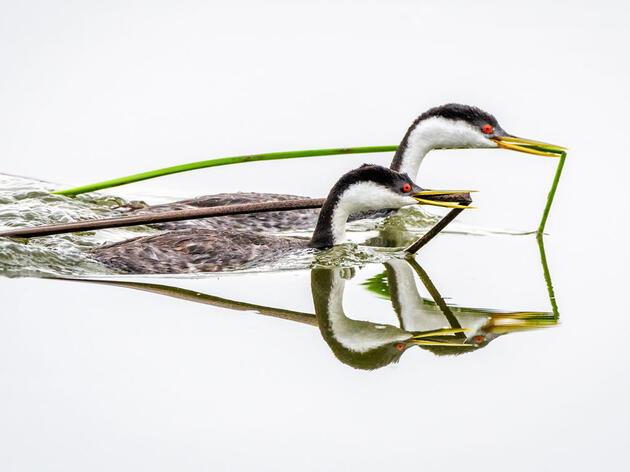 Western Grebes. William Halladay/Audubon Photography Awards