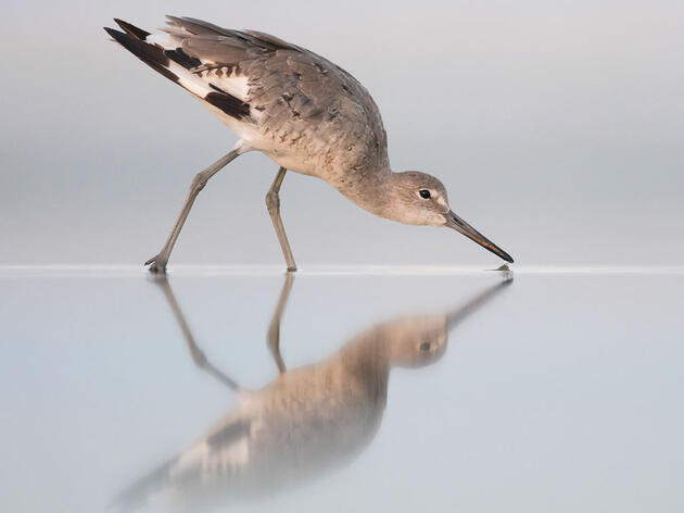 Willet. Peter Brannon/Audubon Photography Awards