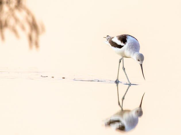 American Avocet. Nick Stroot/Audubon Photography Awards
