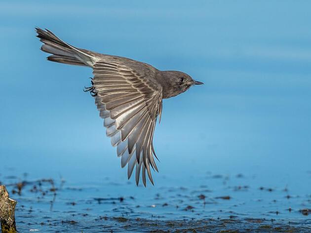 Black Phoebe. Rick Derevan/Audubon Photography Awards