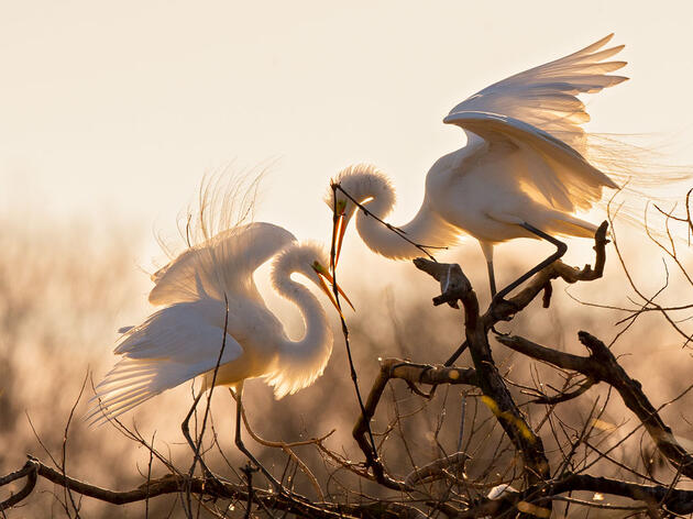 Great Egret. Tim Timmis/Audubon Photography Awards