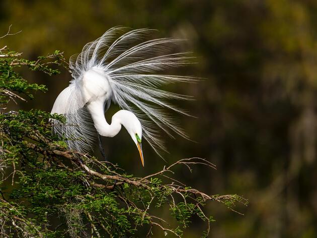 Great Egret. Leonard Billie/Audubon Photography Awards