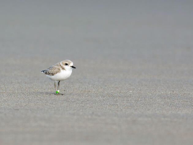 Snowy Plover. Frank Lehman/Audubon Photography Awards