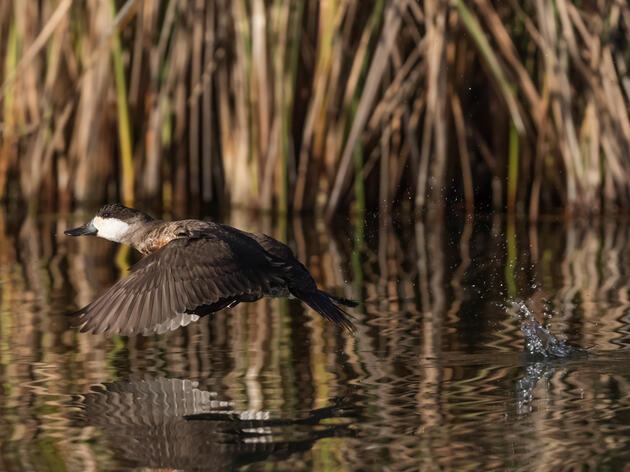 Ruddy Duck. Claudio Contreras Koob