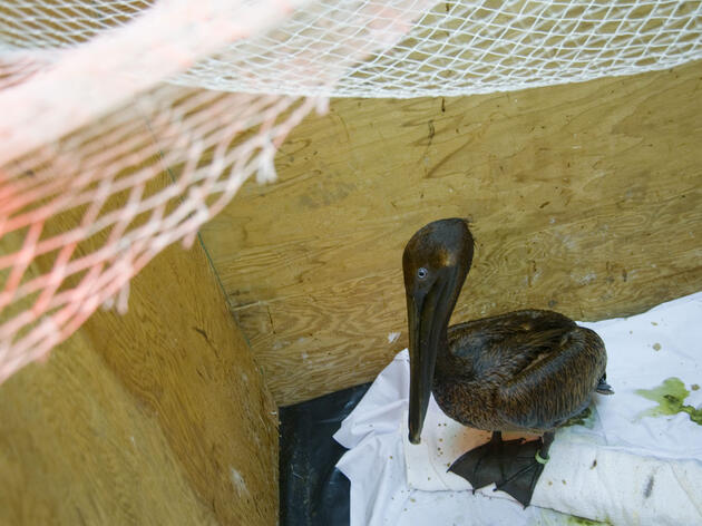 A oiled Brown Pelican awaits cleaning a month after the Deepwater Horizon oil spill in 2010. Kim Hubbard/Audubon