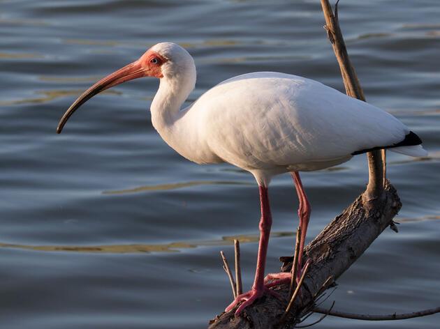 White Ibis. Lynette Spence/Great Backyard Bird Count