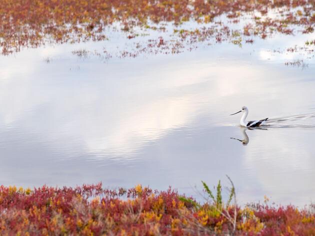 An American Avocet forages in a saline wetland on Great Salt Lake. Evan Barrientos/Audubon